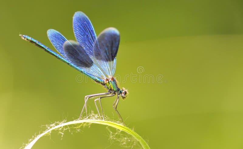 Blauwe Libel royalty-vrije stock afbeelding