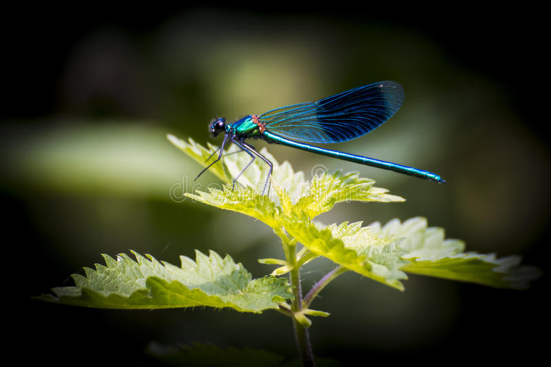 Blauwe Libel stock foto's