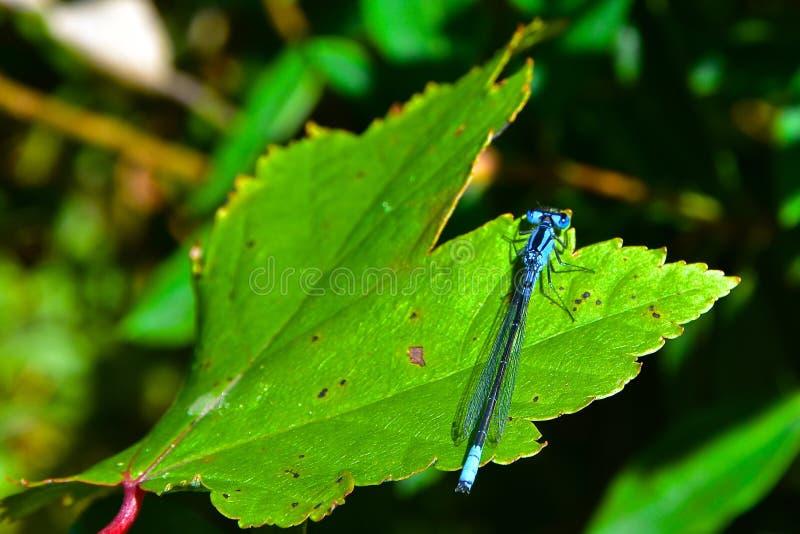 Blauwe Libel stock afbeelding
