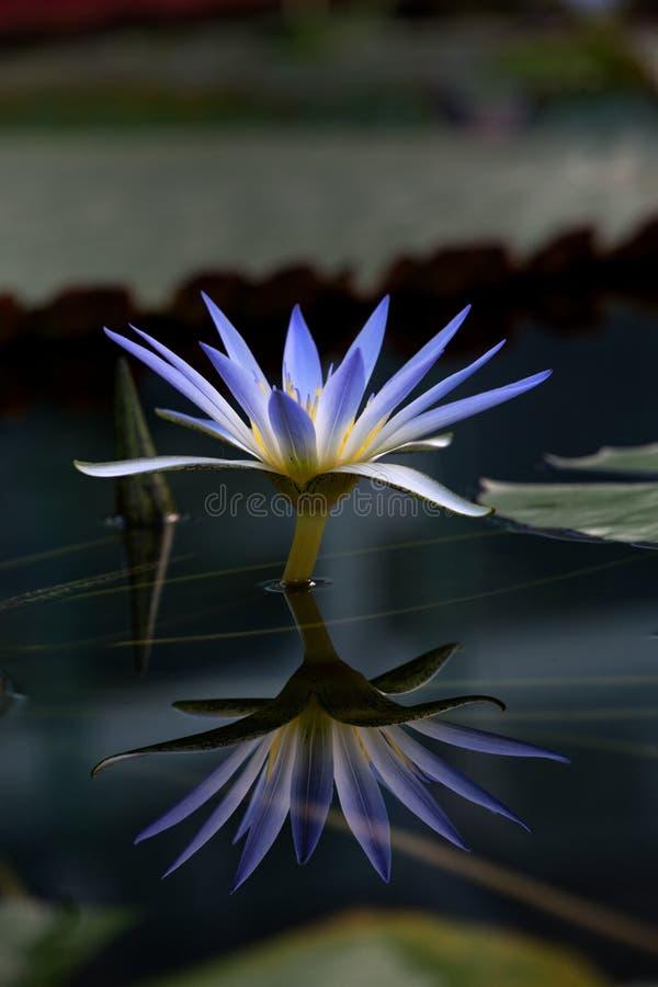 Blauwe Lotus Water Lily royalty-vrije stock foto's