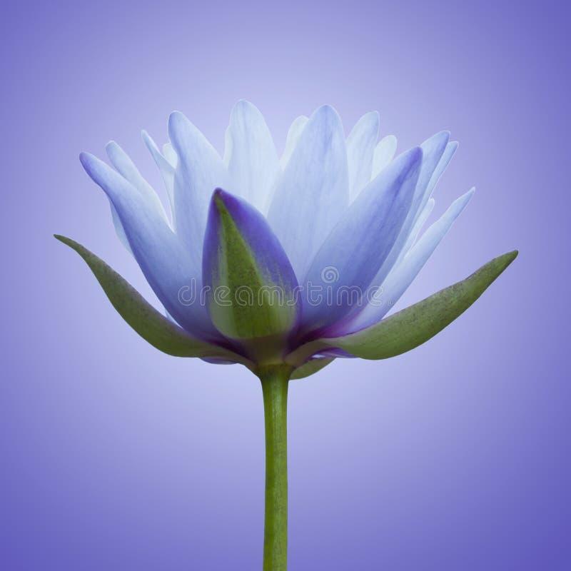 Blauwe lotusbloem stock fotografie