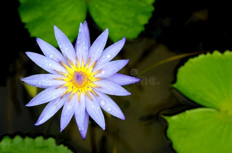 Blauwe lotusbloembloem op de vijver stock afbeeldingen