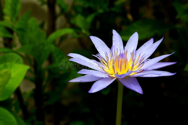 Blauwe lotusbloembloem op de vijver stock afbeelding