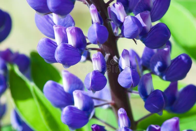 Blauwe Lupine-Bloemenlupinus royalty-vrije stock foto