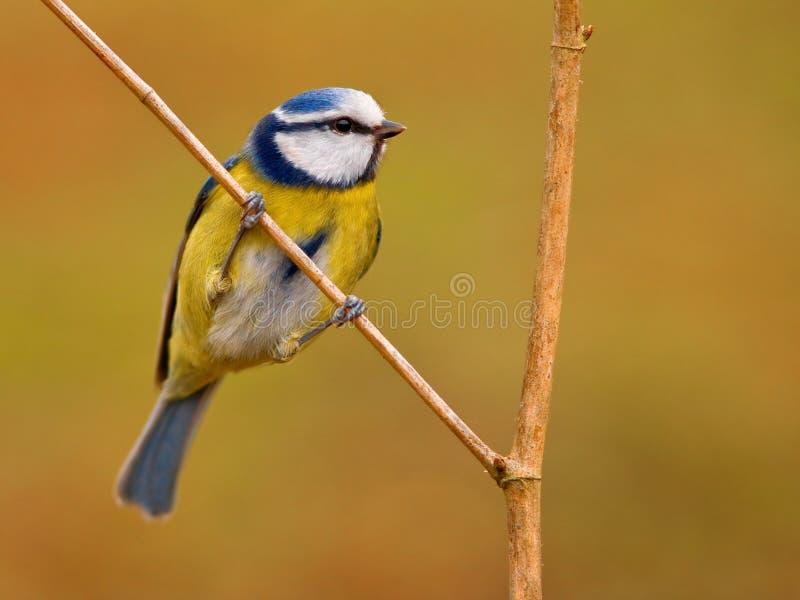 Blauwe mees  royalty-vrije stock afbeelding