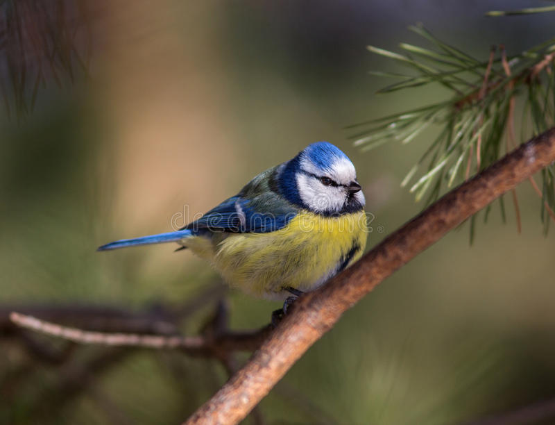 Blauwe mees stock afbeeldingen