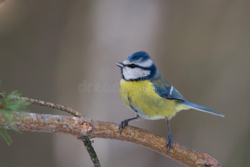 Blauwe mees (caeruelus van akaparus) royalty-vrije stock afbeelding