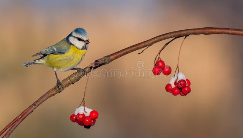 Blauwe Mees - caeruleus Parus royalty-vrije stock fotografie