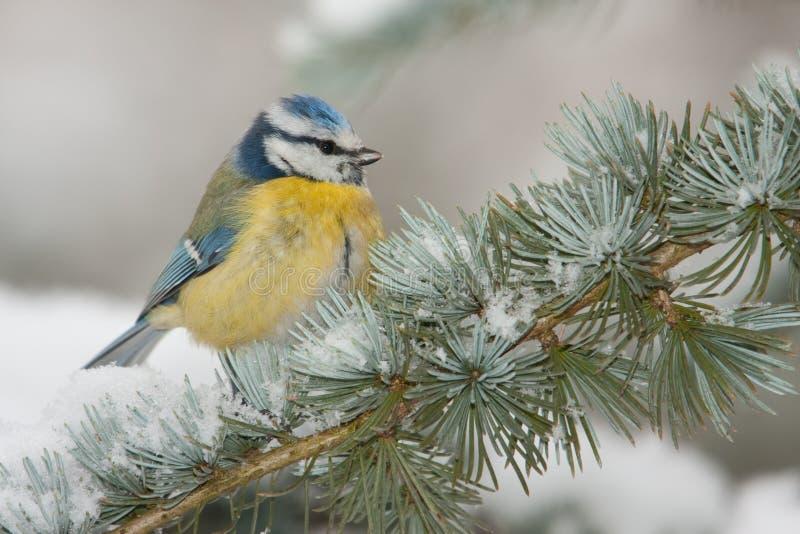 Blauwe mees in de winter stock foto's