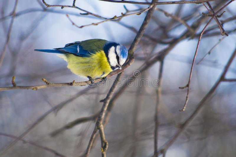 Blauwe mees op een ijzige dagzitting op een tak stock foto