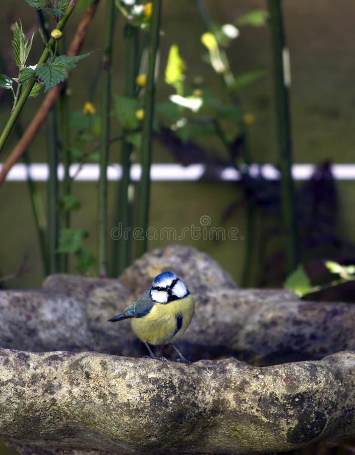 Blauwe mees op vogelbad royalty-vrije stock fotografie