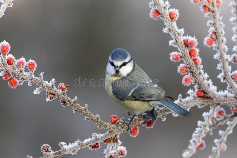 Blauwe mees, Parus-caeruleus royalty-vrije stock fotografie