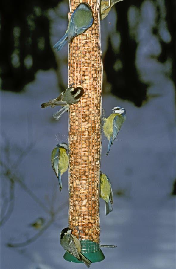 Blauwe mees, Parus-caeruleus stock fotografie