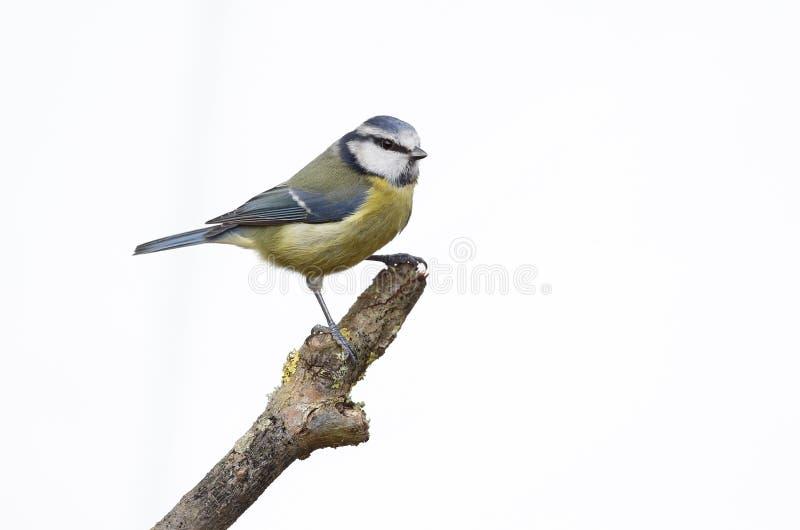 Download Blauwe Mees, Parus-caeruleus Stock Foto - Afbeelding bestaande uit brits, vogel: 39113260