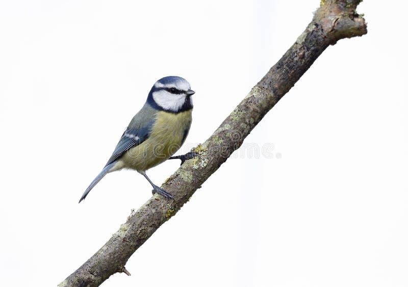 Download Blauwe Mees, Parus-caeruleus Stock Afbeelding - Afbeelding bestaande uit zangvogel, brits: 39113263