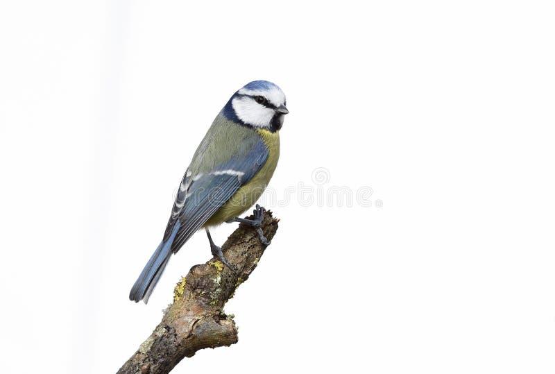 Download Blauwe Mees, Parus-caeruleus Stock Foto - Afbeelding bestaande uit zangvogel, dier: 39113266