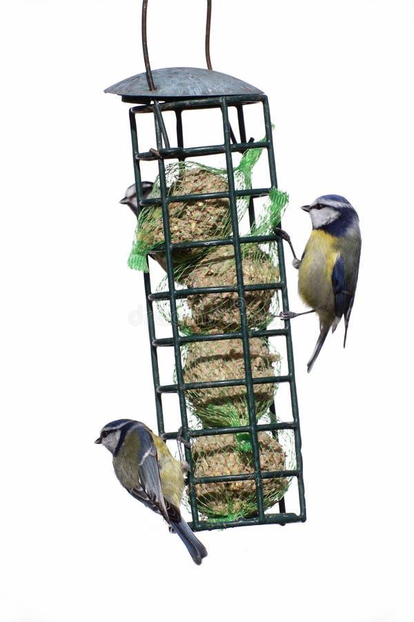 Download Blauwe Mees, Parus-caeruleus Stock Foto - Afbeelding bestaande uit stedelijk, wildlife: 39113288