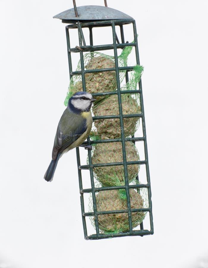 Download Blauwe Mees, Parus-caeruleus Stock Foto - Afbeelding bestaande uit stedelijk, dier: 39113292