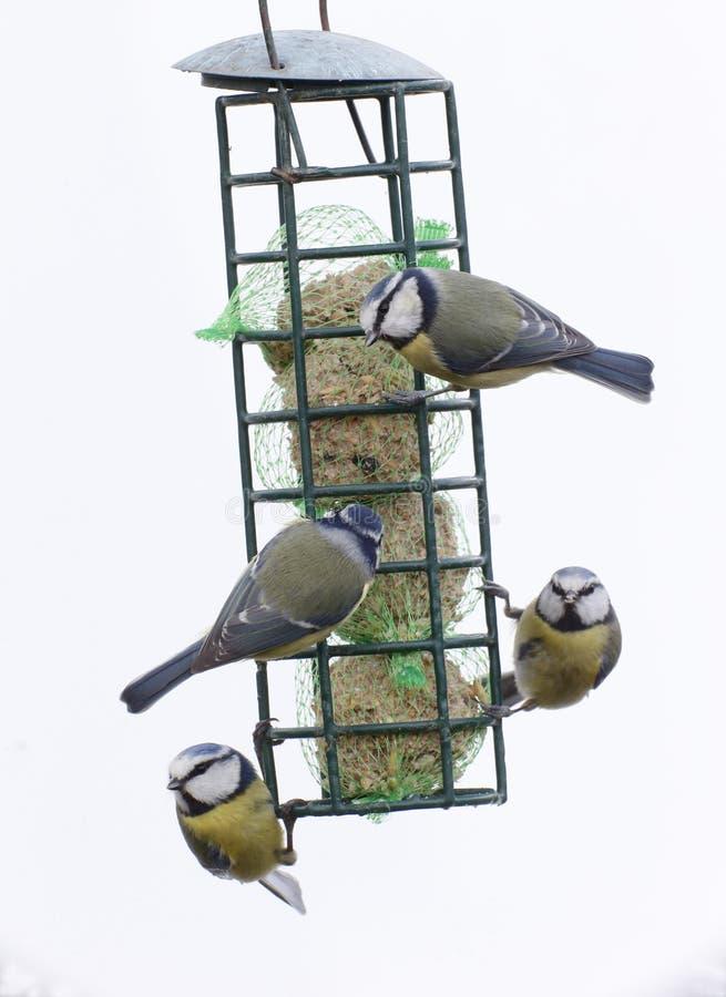 Download Blauwe Mees, Parus-caeruleus Stock Foto - Afbeelding bestaande uit hout, stedelijk: 39113294