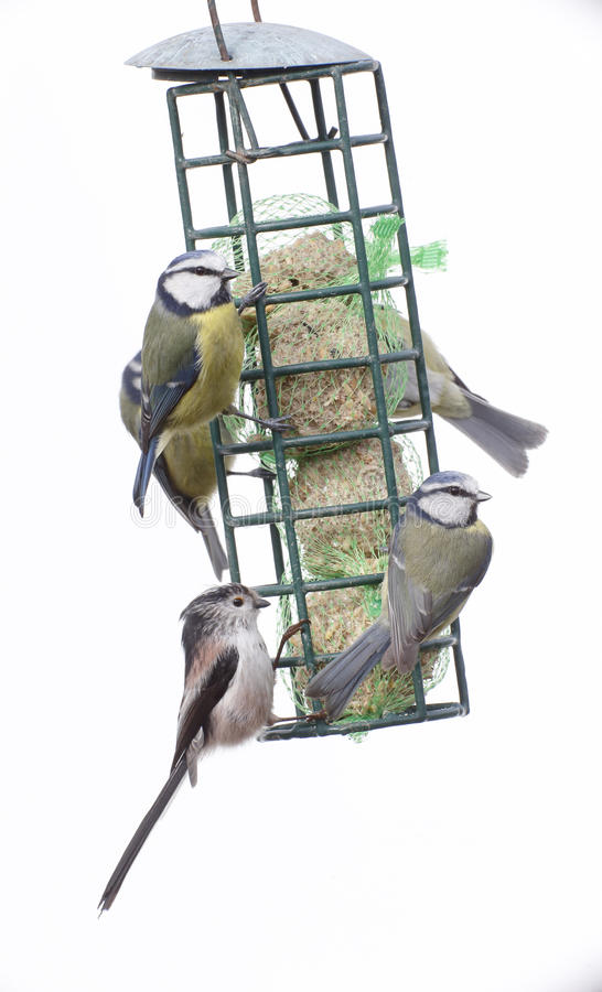 Download Blauwe Mees, Parus-caeruleus Stock Afbeelding - Afbeelding bestaande uit dier, voeder: 39113297