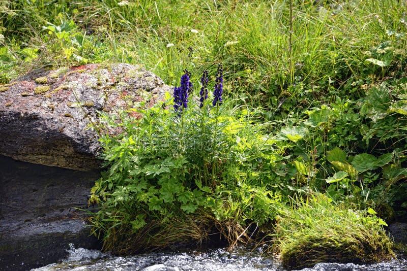 Blauwe monnikskapbloem in euopean alpen stock fotografie