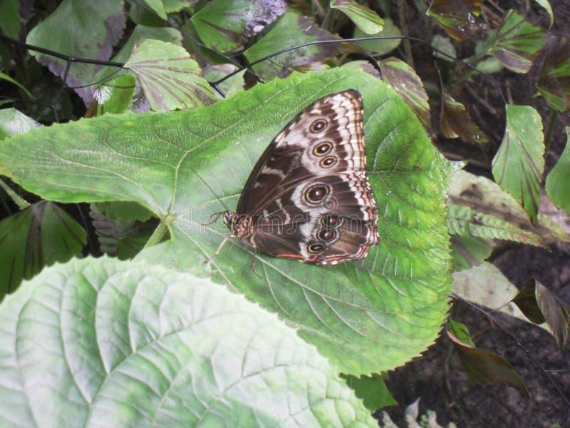Blauwe Morpho-Onderkant - Tropische Vlinder royalty-vrije stock fotografie