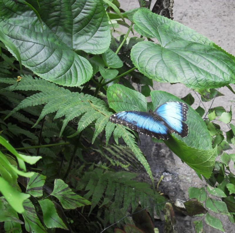 Blauwe Morpho - Tropische Vlinder royalty-vrije stock foto