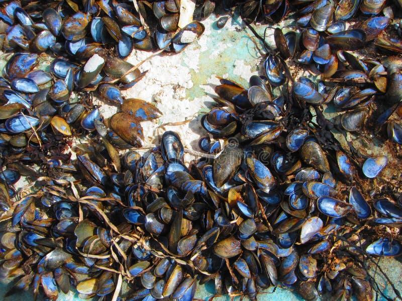 Blauwe mosselshells stock foto