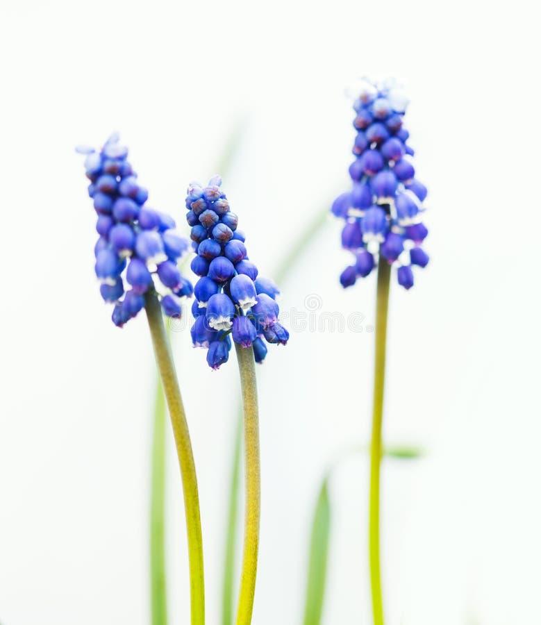 Blauwe Muscari-bloemen stock foto's