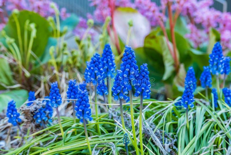 Blauwe Muscari-de lentebloemen bij het Hirosaki-Kasteelpark stock afbeeldingen