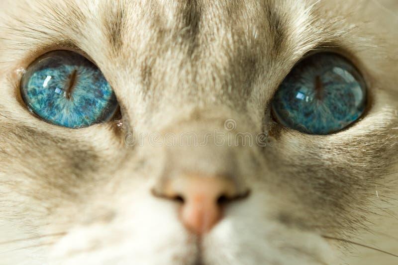 Kat met blauwe ogen royalty-vrije stock afbeelding