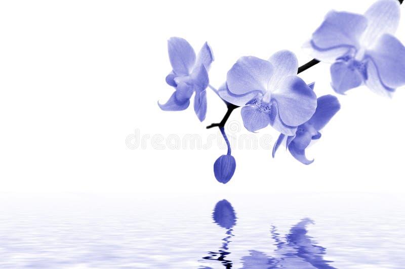 Blauwe orchideeën royalty-vrije stock afbeeldingen