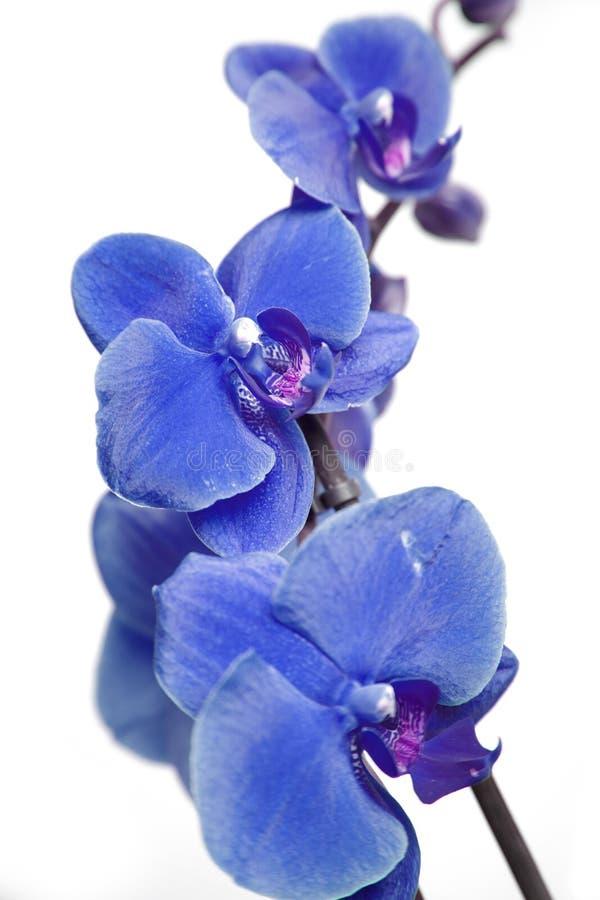 Blauwe orchideeën royalty-vrije stock afbeelding