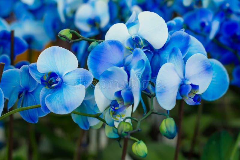 Blauwe Orchidee stock foto