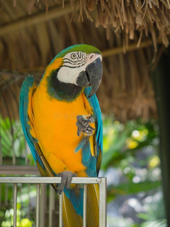 Blauwe Papegaai in Aruba royalty-vrije stock fotografie