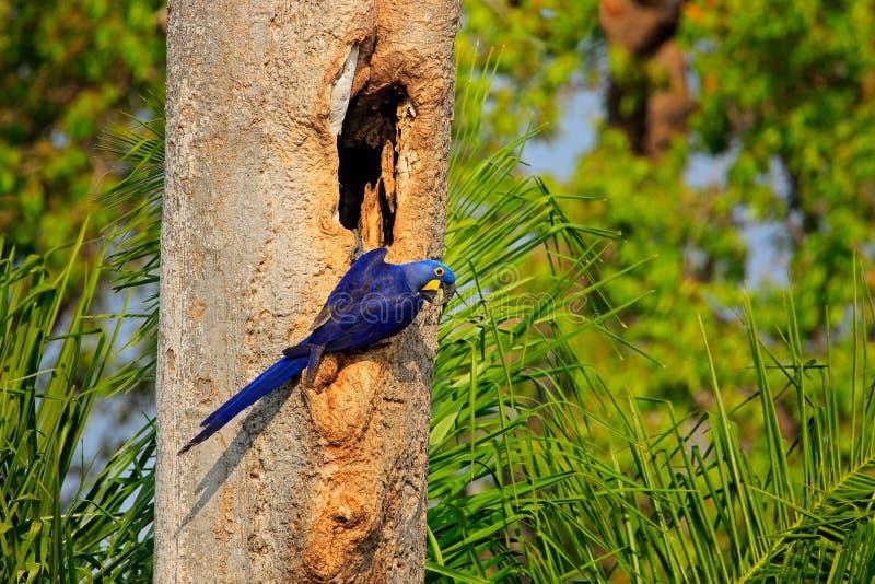 Blauwe papegaai in groene tropische bos Grote blauwe papegaai Hyacinth Macaw, Anodorhynchus-hyacinthinus, in de holte van het boo stock foto