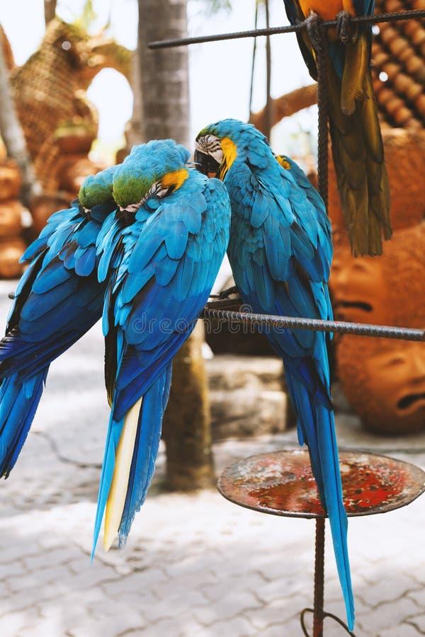 Blauwe papegaaien stock fotografie