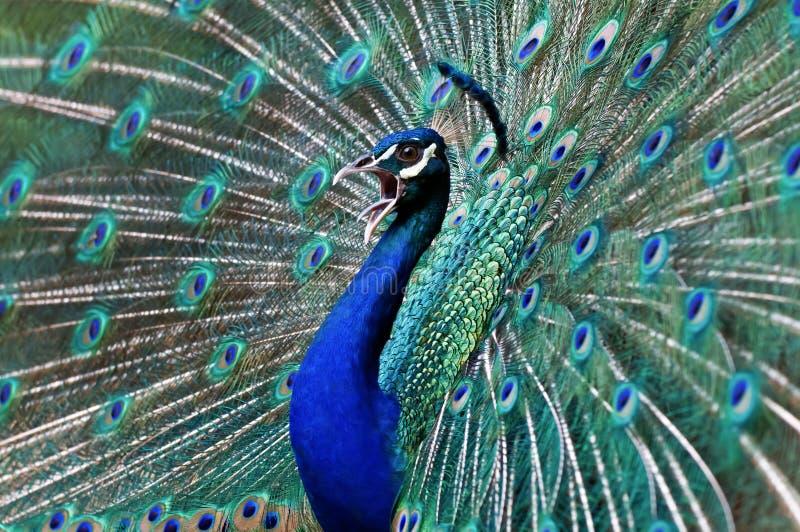 Blauwe pauw. royalty-vrije stock foto