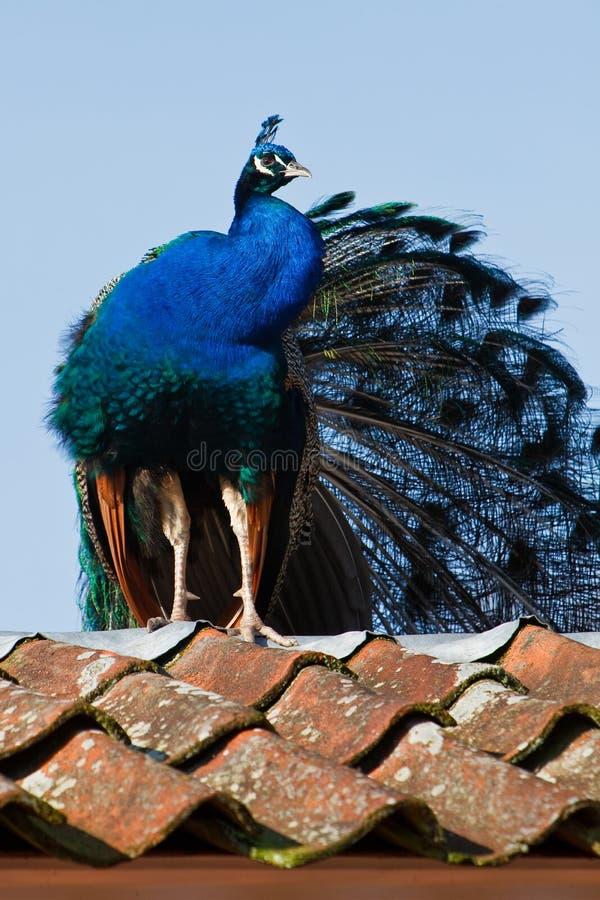 Blauwe pauwzitting op een dak royalty-vrije stock afbeelding