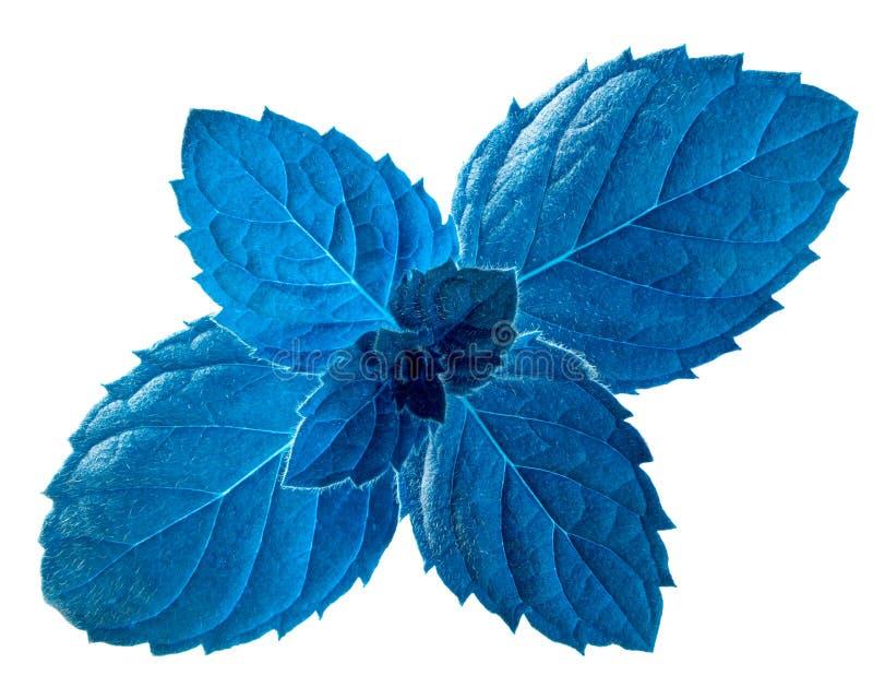 Blauwe pepermunt m piperitabladeren, wegen royalty-vrije stock foto