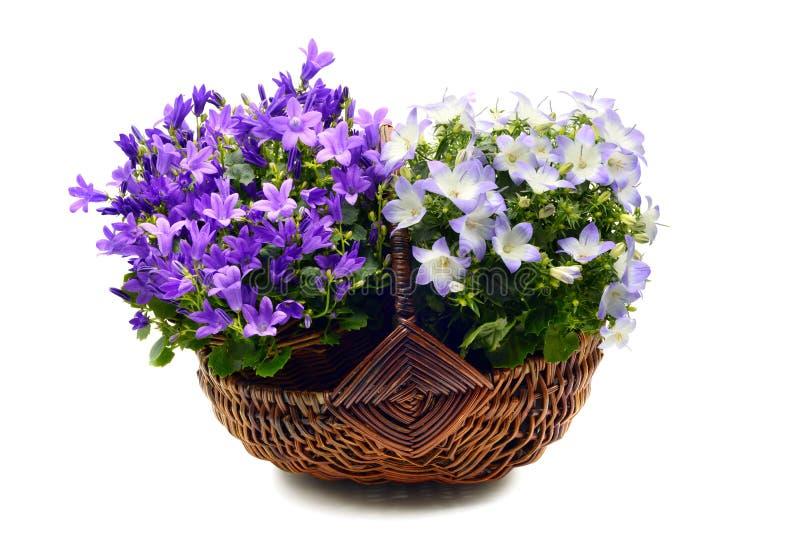 Blauwe poscharskyana van het bellflowersklokje op wit geïsoleerde bac stock fotografie