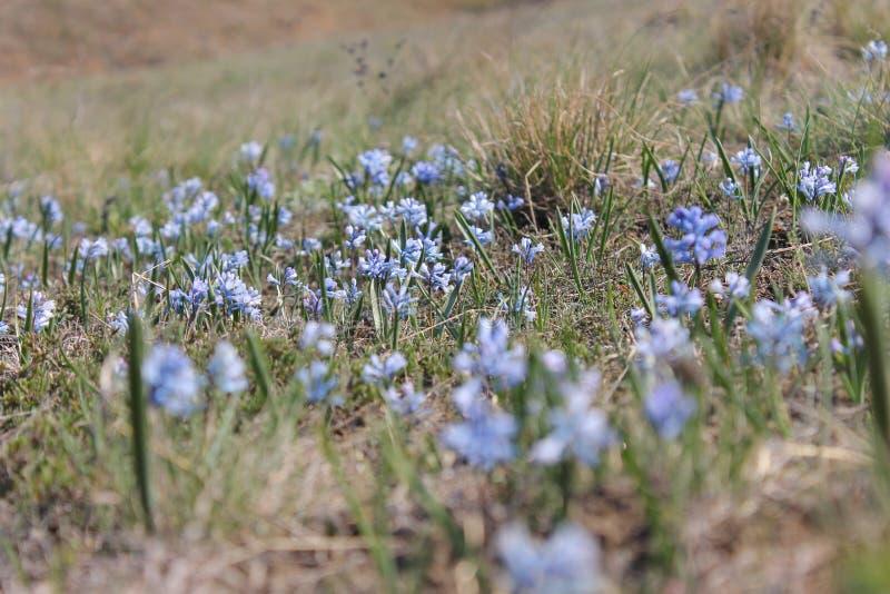 Blauwe proliski op de helling door de rivier Byrd Oekra?ener royalty-vrije stock foto's