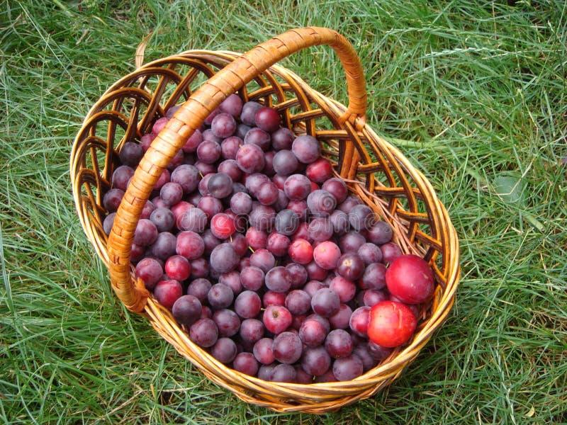 Blauwe pruimen in een mand in de tuin De herfstoogst van pruimen in de mand Verse Vruchten royalty-vrije stock fotografie
