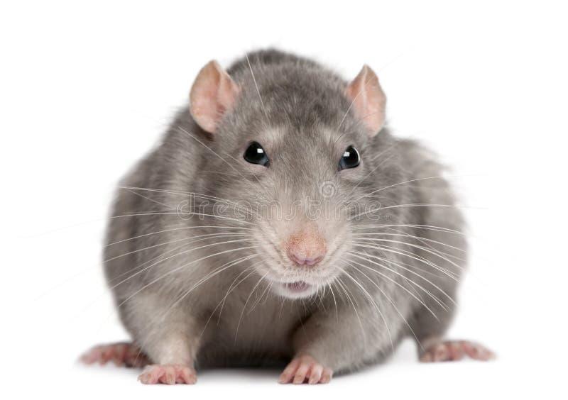 Blauwe rat stock foto's