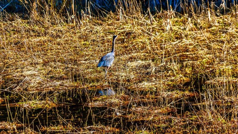 Blauwe Reiger die in het riet van Moeras pitt-Addington bij de stad van Esdoornrand lopen in Fraser Valley van Brits Colombia Can stock afbeeldingen