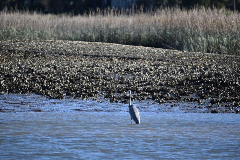 Blauwe reiger die in het water waden stock foto