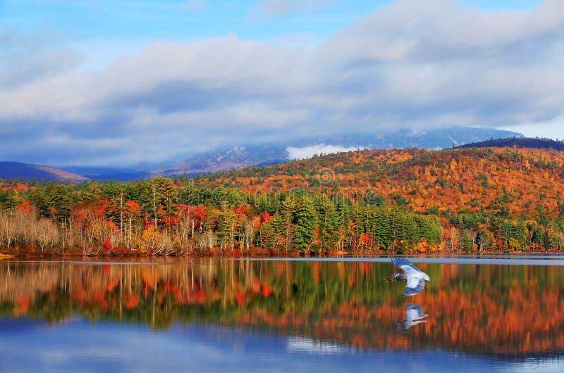 Blauwe reiger en de Herfstkleuren van Witte Berg en Meren stock afbeelding