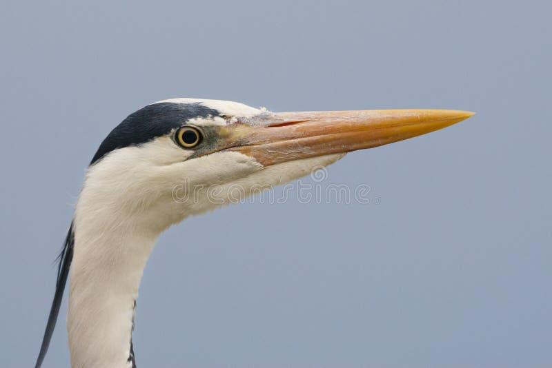 Blauwe Reiger, Grey Heron, Ardea cinerea imágenes de archivo libres de regalías