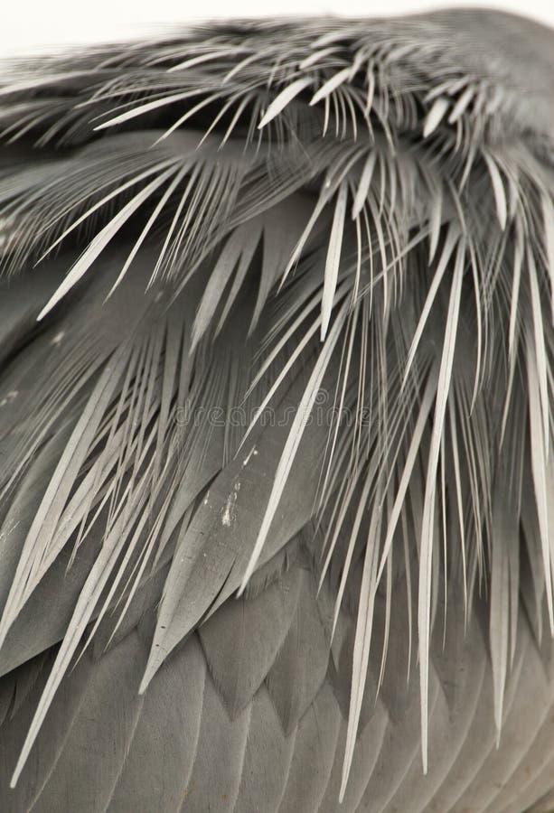 Blauwe Reiger, Grey Heron, Ardea cinerea. Verenkleed van een Blauwe Reiger; Feathers of the back of a Grey Heron (Ardea cinerea stock image