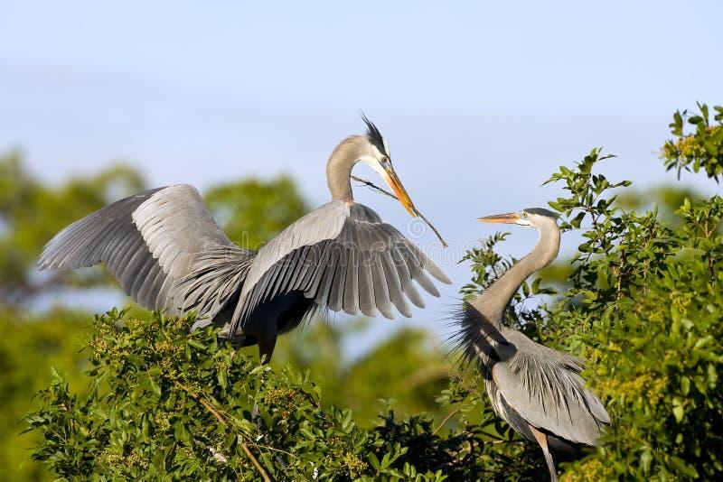 Blauwe Reigers die een nest bouwen stock afbeelding